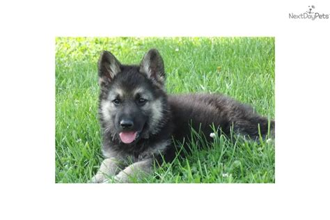hybrid puppies german shepherd wolf hybrid puppies