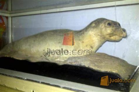 download mp3 gigi ikan laut offset cendrawasih singa laut gigi ikan hiu jakarta jualo