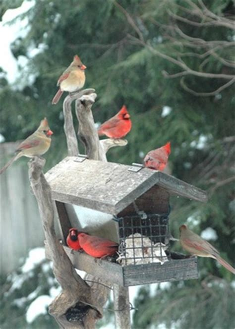 black sunflower seeds cardinals with feed and feeders birds in the yard