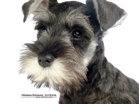mini schnauzer puppy 1600 1200 black and silver miniature schnauzer puppy picture 33 wallcoo net