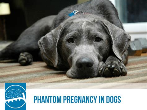 phantom pregnancy in dogs the pet professionals