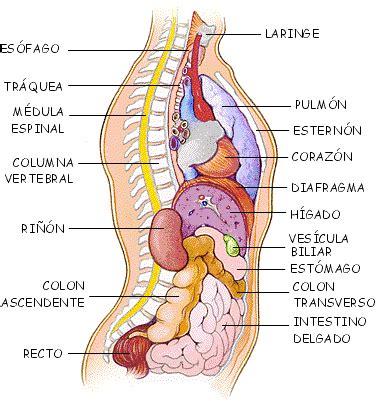 el cuerpo humano el h 237 gado es la v 237 scera m 225 s voluminosa del ser humano pesa el cuerpo humano