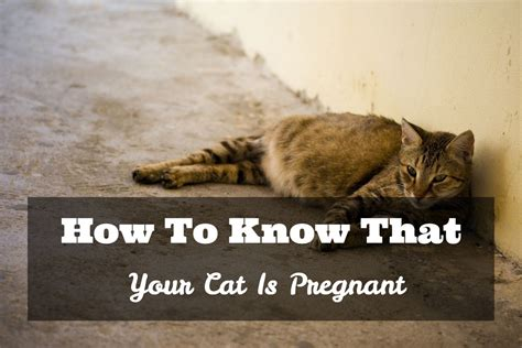 cat pregnancy how to tell if your cat how to that your cat is pawsome talk