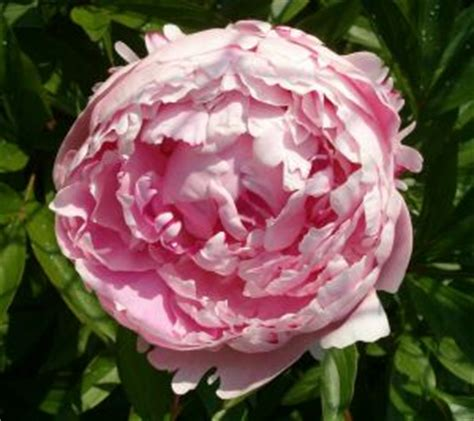 how to care for peonies after blooming garden guides