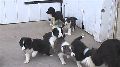 border collie puppies for sale in pa border collie puppies for sale in pa