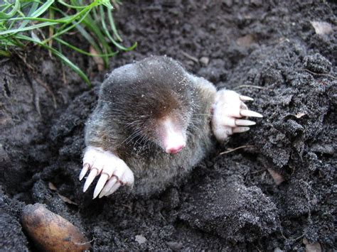 mole vs gopher difference between moles and gophers
