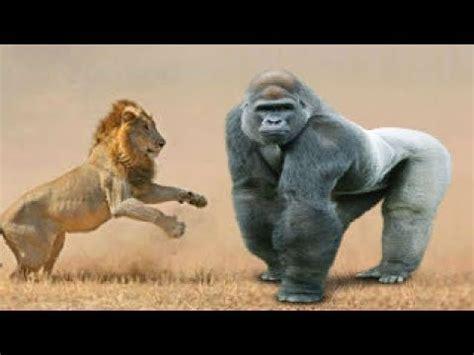 amazing big cat deadliest fights compilation including lion attack leopard jaguar