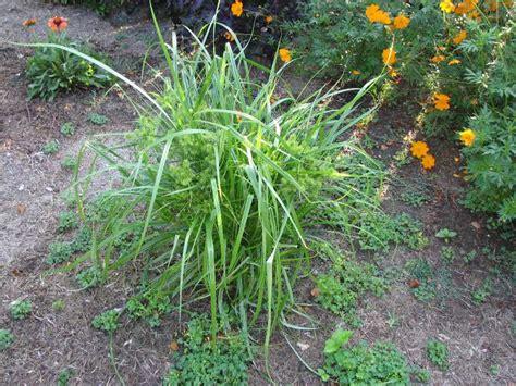 Gardening Help Yellow Nutsedge