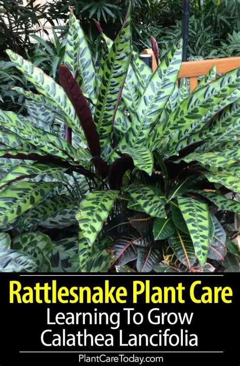 rattlesnake plant care   grow calathea lancifolia