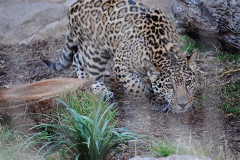 jaguars abilene spider monkey killed after jaguar escapes enclosure at