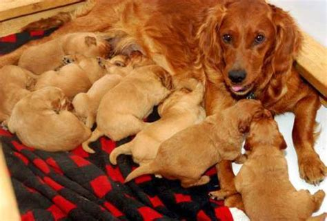 a litter of puppies do dogs umbilical cords let s find out feminiyafeminiya