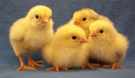 Home Decor Bargains by Columbian Rock Chickens For Sale Amp Info Cackle Hatchery