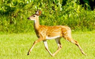 white tailed deer safaricks zoologico