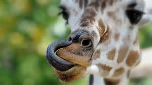 giraffe tongue color why do some animals blue tongues mnn