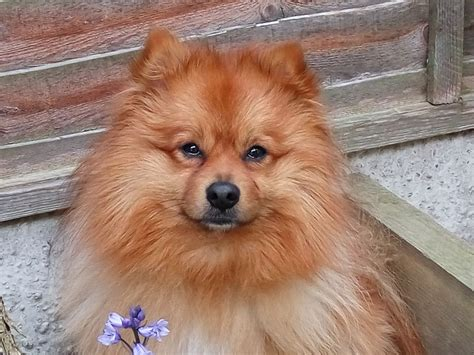 pomeranians for sale in pomeranian for sale peterborough cambridgeshire pets4homes