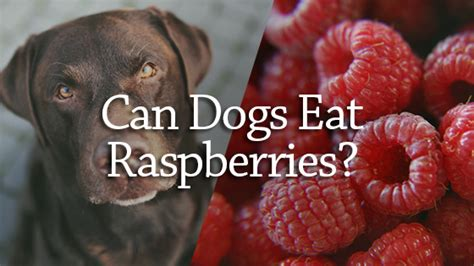 can dogs raspberries can dogs eat raspberries pet consider