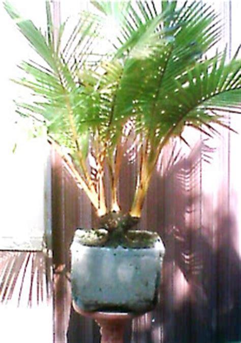 Bibit Kelapa Hibrida Riau bonsai november 2008