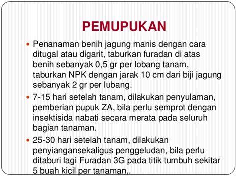 Benih Jagung Manis presentasi budidaya jagung manis