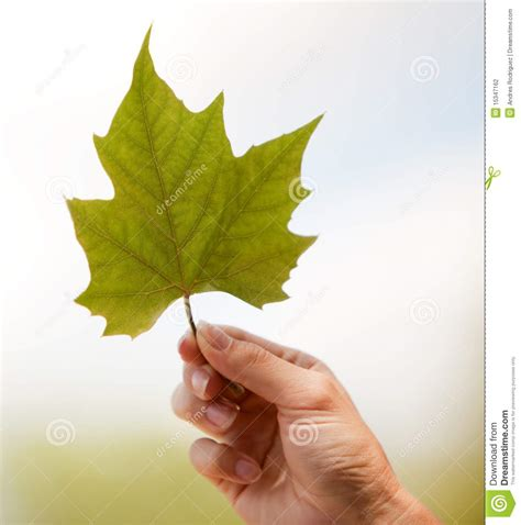 Hand Holding A Leaf Stock Photography   Image: 15347162