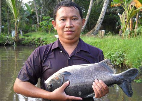 Jual Bibit Lobster Air Tawar Jawa Tengah jual benih ikan murah