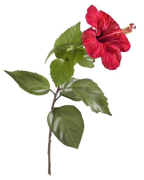 painting  hibiscus flower  white background stock