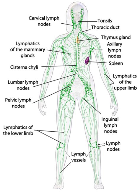 diagram of lymphatic system hayden perno 5 exercises for limb lymphoedema
