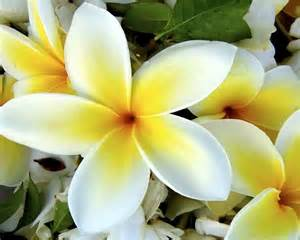 Tropical Plants Perth - gardensonline plumeria acutifolia