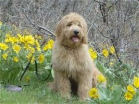 doodle puppies for sale in minnesota goldendoodle breeders in minnesota mn cedar farms