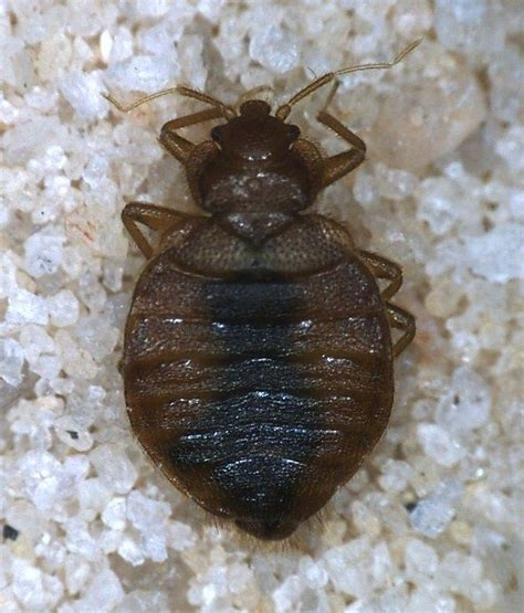 are bed bugs dangerous pin by kathy flanders on promoting extension pinterest