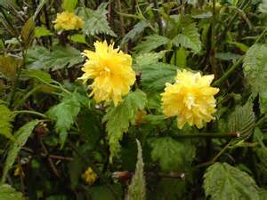 yellow flowering shrubs flowering shrubs tinybloomingplaces co uk