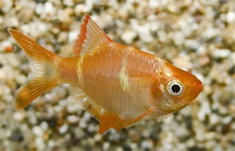 Aquarium 100 L 2023 by Tiger Barb Ruinemans Aquarium