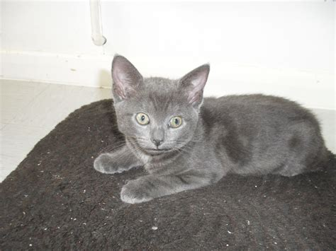 russian for sale russian blue kittens for sale