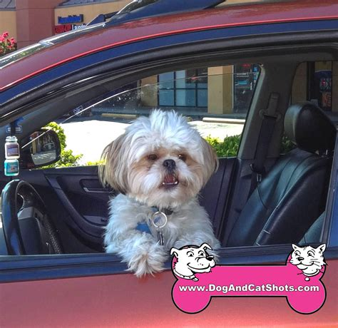 shih tzu sacramento low cost and cat in northern california we saw gizmo the shih tzu here at