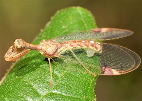 mantid lacewing  ditaxis biseriata