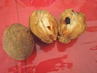 Buah Sawo Manila Muda Belum Matang sawo untuk burung pemakan buah nektar klub burung