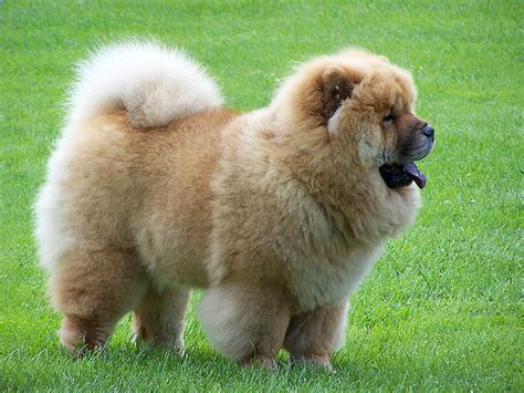 chow breed chow chow