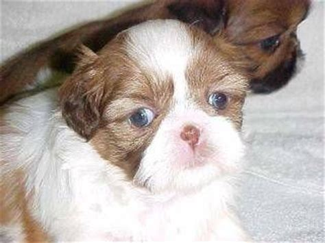 green eyed shih tzu 99 best images about shih tzu puppies on adoption animal pictures and