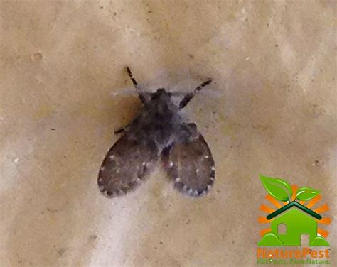 how to get rid of drain flies in the bathroom how to get rid of sewer flies organic pest control