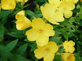 Yellow Flower Perennials - gallery for gt yellow perennial flower identification