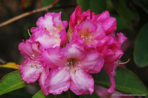 pictures of flowers rhododendron