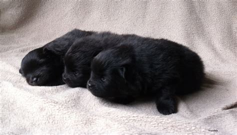 pomeranian newborn puppies 35 most awesome black pomeranian pictures and images