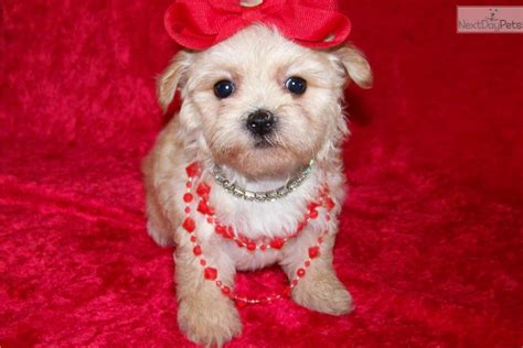 maltipoo puppies for sale in tn maltipoo teddy puppy for sale hairstylegalleries
