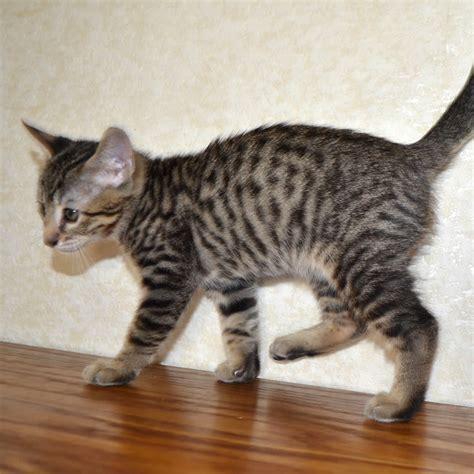 savannah kittens for sale about savannahs savannah f6 savannah kittens for sale amanukatz savannah cats ohio
