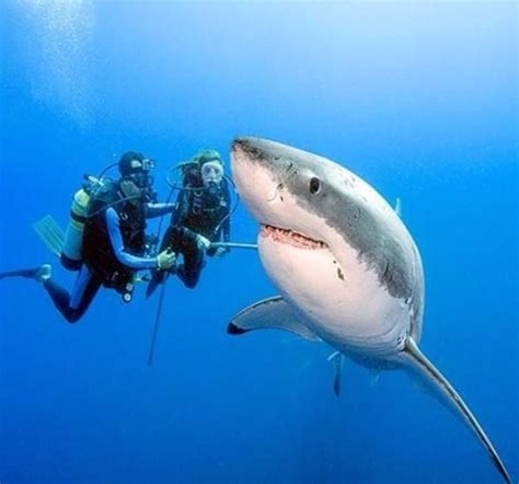 baby shark urban dictionary these activists swim with sharks so you ll stop killing
