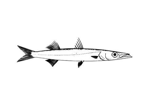 barracuda fish coloring page hunting barracuda fish coloring pages hunting barracuda