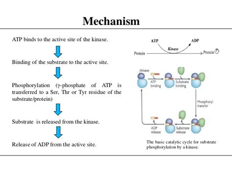 protein kinase a function protein kinase cascade