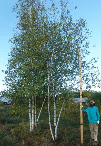 whitespire birch clumps plants beautiful nursery