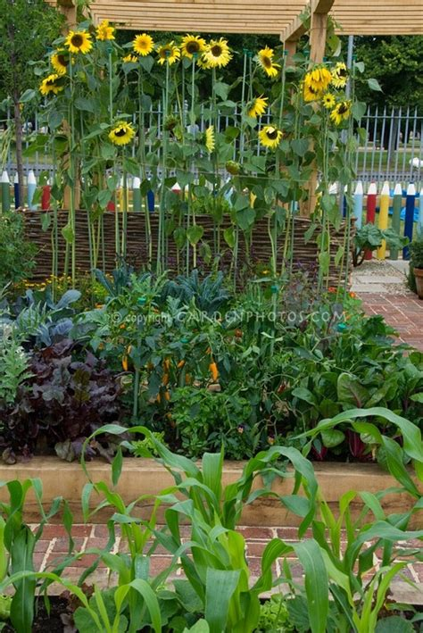 Sunflower Fence Food Garden Pinterest Sunflower Garden Ideas