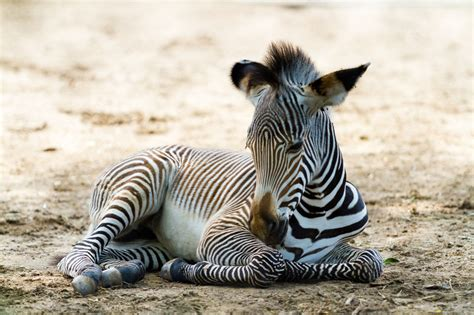 what color is a zebra black or white what color are the stripes of a zebra