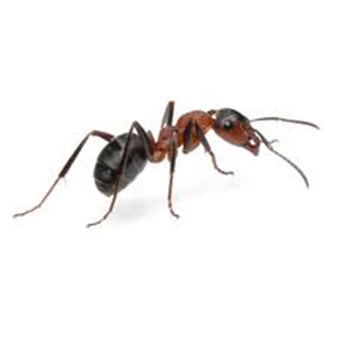 odorous house ants the 4 most common virginia ants permatreat pest and termite control